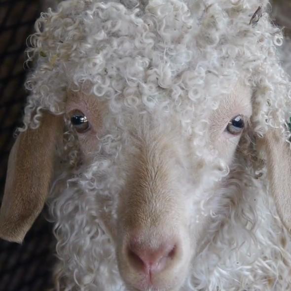 Sheep_and_Woolo